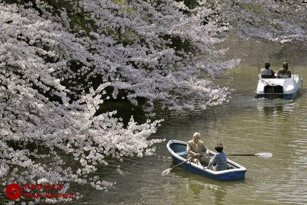 هتل ستاد 2 در مشهد عکس: شکوفه های گیلاس در ژاپن و تایوان | پایگاه اطلاع رسانی رجا