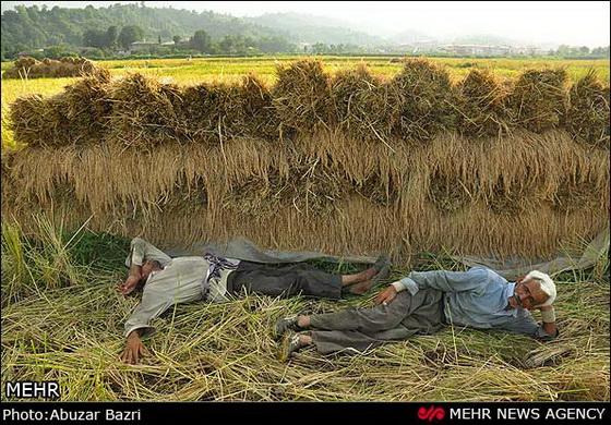 کشاورزان گیلانی در حال برداشت شالی