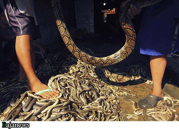 عكس: نحوه توليد چرم مار | پایگاه اطلاع رسانی رجاكارگاه توليد چرم مار در شهر جاوا، كشور اندونزي