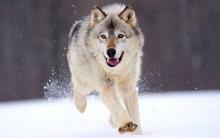 رئیس اداره حفاظت محیط زیست شهرستان کرج با بیان اینکه در برف گذشته 2 مورد تماس با محیط زیست کرج در خصوص نزدیک شدن گرگ به روستاها گرفته شد، گفت: در روزهای آتی نیز این احتمال وجود دارد.