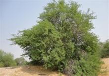 """""""درخت کهور آمریکایی"""" یا کنوکارپوس، مهاجمترین درخت در اروپا شناخته میشود؛ در این مطلب به ۵ دلیل خطرناک بودن کاشت """"درخت کهور"""" در کشورمان پرداخته شده است."""
