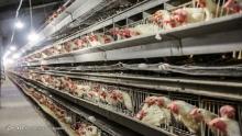 قیمت هر کیلو مرغ در بازار به بیش از 30 هزار تومان رسیده است. بررسیها نشان میدهد اصلیترین دلیل این جهش قیمت، عدم مدیریت در توزیع نهادههای دامی و بدسلیقگیهای ارزی است