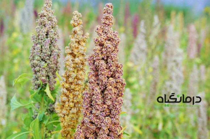 کینوا گیاهی است که به دلیل دارا بودن ارزش تغذیه ای بسیار بالا و نداشتن گلوتن، در رژیم های لاغری، درمان سلیاک و ... بسیار مورد توجه قرار گرفته است.