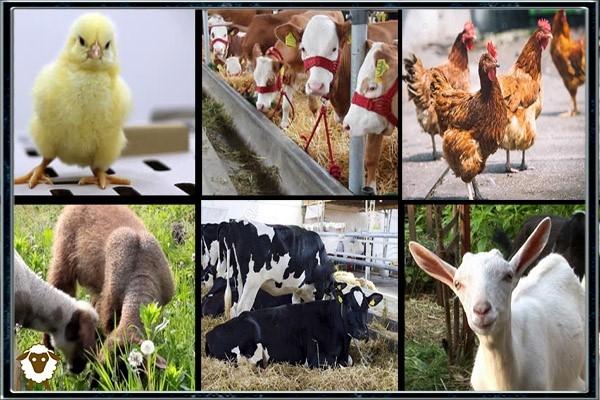 تغذیه نقش مهمی در تولید و پرورش حیوانات دارد و همیشه بین این دو رابطه همبستگی مثبت وجود دارد. تأثیر تغذیه از ابتدای زندگی حیوانات آغاز می شود زیرا تغذیه در حیوانات جوان روی سن رسیدن به بلوغ تأثیر می گذارد. رشد سریع و دستیابی زودرس به اندازه مناسب برای تولید، این مزیت اقتصادی را برای کاهش بخش غیر مولد زندگی حیوانات دارد. در حيوانات توليد كننده گوشت، سطح بالاي تغذيه در اوايل زندگي منجر به وزن بهتر و پرورش مي شود. تهیه مواد غذایی مناسب برای رشد دام و طیور، تولید و سلامتی مهم است. تأمین مواد غذایی کافی از اهمیت بالایی برخوردار است تا  قادر به دستیابی به پتانسیل تولیدی خود و همچنین برای حفظ سلامتی باشد.